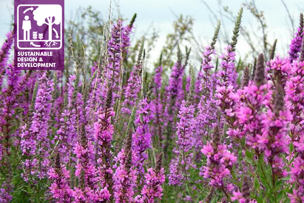 Purple Loosestrife, an invasive non-native plant