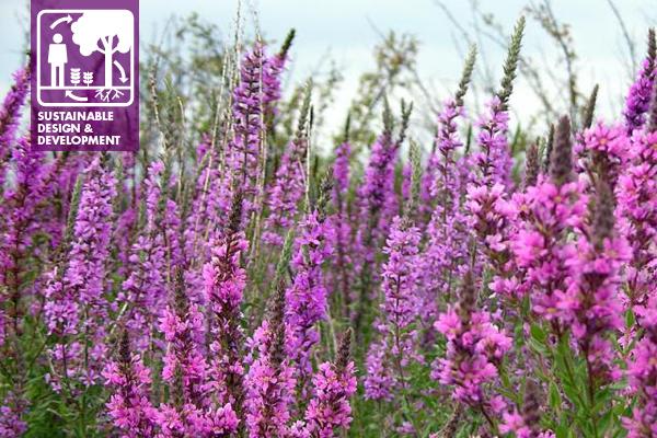 Purple Loosestrife, an invasive non-native plant