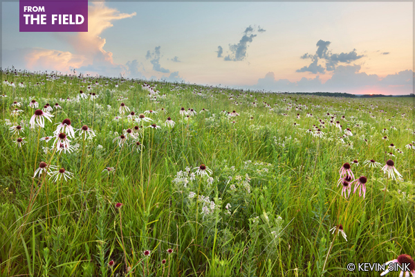 The Missouri Prairie Foundation's Schwartz Prairie in St. Clair County, an original prairie protecting more than 360 native plant species, including Geocarpon minimum, known from only 50 places on Earth. image: Kevin Sink