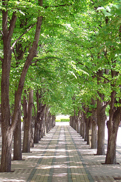 The trees in suspended pavement at the Christian Science Center form a calm and cooling canopy.  image: walkn via Flickr