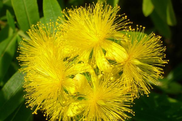 Hypericum kalmianum 'Ames' flowers image: Ethan Dropkin