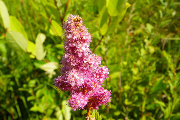 Spiraea tomentosa, one of the plants used in the research associated with this project image: Ethan Dropkin