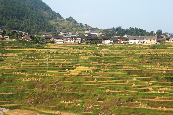 Terraced field in the harvest season, Qiandongnan, Guizhou Province.  image: Minjie Si, X-SCAPE Associates