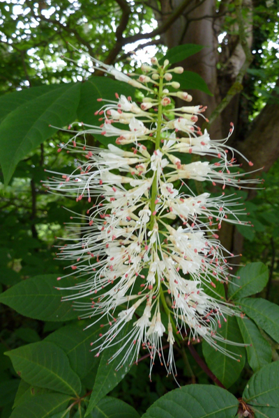 Aesculus parviflora   image: wikimedia Magnus Manske