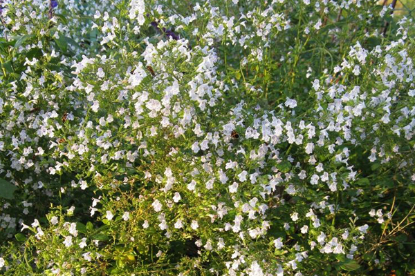 Calamintha nepeta 'Montrose White' image: wikimedia  KENPEI