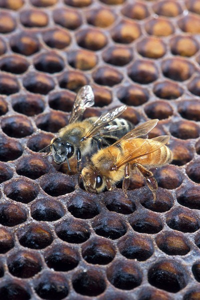 Africanized Honey Bee on left, European Honey Bee on right image: Scott Bauer, USDA Agricultural Research Service [Public domain], via Wikimedia Commons