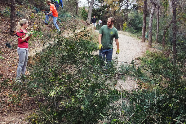 Figure 2: Ligustrum quihoui (Chinese Ligustrum) in Crystal Canyon Natural Area, Arlington, Texas, being removed by students from the University of Texas at Arlington image: David Hopman