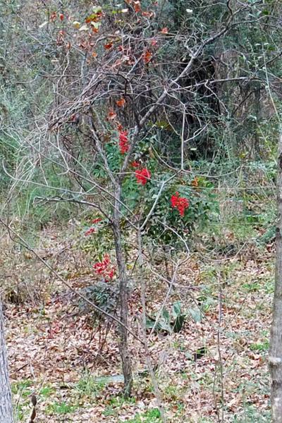 Nandina Domestica Leaf