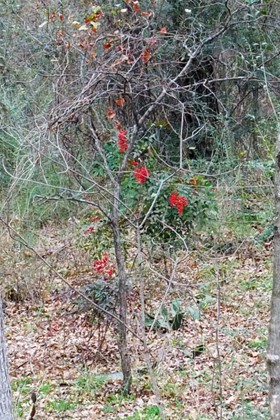 Figure 3: Nandina domestica encroaching into Crystal Canyon Natural Area, Arlington, Texas image: David Hopman