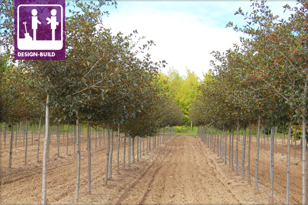 Crataegus crus-galli – 'Inermis' image: Johnson's Nursery, Inc.