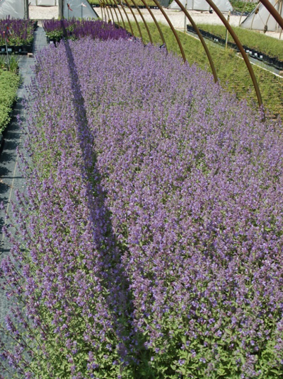 Nepeta x faassenii 'Walker's Low' image: Johnson's Nursery, Inc.