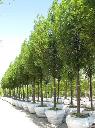 Quercus robur 'Regal Prince', on a gravel range, under drip system (irrigation and fertilization) image: Mariani Plants, Inc.