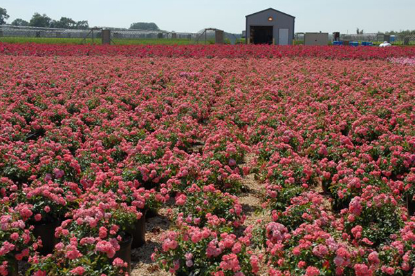 Shrub Roses on gravel range, under drip system (irrigation and fertilization). image: Mariani Plants, Inc.