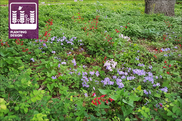 Figure 1: Simple low woodland polyculture in spring (April 12) at Hopman residence in Arlington, Texas. Woodland Phlox (Phlox divaricata), Wood Violets (Viola missouriensis), Cedar Sage (Salvia roemeriana), Horseherb (Calyptocarpus vialis), and Golden Groundsel (Packera ovata). image: David Hopman