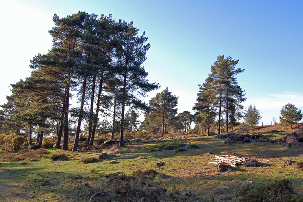 Clump of pines in Ashdown Forest image: Graham via Flickr