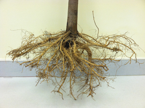 Roots properly pruned with no roots above the root collar Photo credit: James Urban