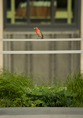 House finch purching at the McCormack Post Office and Courthouse Building green roof, designed by Andropogon Associates. Photo credit J. Nystedt.